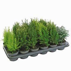 sadenice a pestovanie konifery