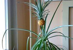 vypestovať palmu a iné ovocie