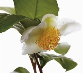 kvet čajovníka