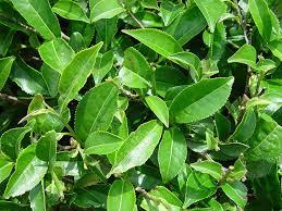 pestovanie čajovníka