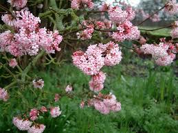ružový kvet