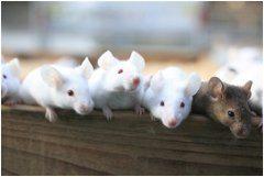 ako sa starať o potkana