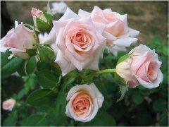 ako vysádzať ruže na záhrade