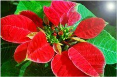 kvitnutie vianočnej hviezdy