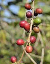 nezrelé plody kávovníka
