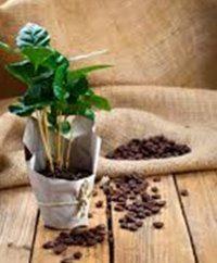 pestovanie kávovníka doma