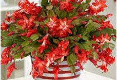 rozkvitnutý vianočný kaktus