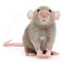 správna starostlivosť o potkana
