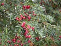 tis obyčajný a ako spoznať jedovaté rastliny na záhrade