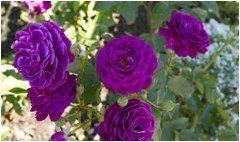 výsadba ruží