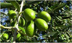extra virgin olivové oleje