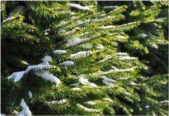 zasadenie vianočného stromčeka do záhrady