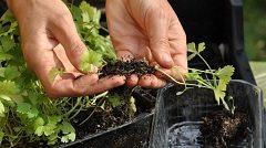 pestovať zeler u vás v záhrade