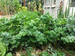 vypestovať zeler doma
