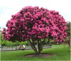 ako pestovať rododendrony stromy