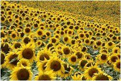 ako správne pestovať slnečnicu