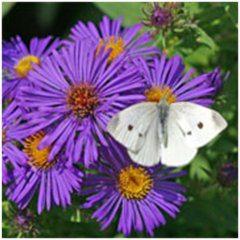 húsenice motýľov