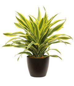 rastlina dracena