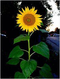 sadenie slnečnice