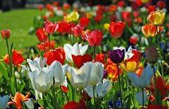 ako pestovať tulipány