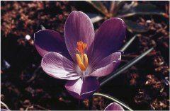 fialka na záhrade