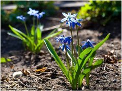 pekná modra cibuľovina