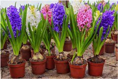pekné cibuľnaté kvety