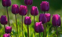 pestovať tulipány na záhrade