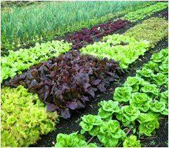 rôzne druhy plodín na záhrade a striedanie