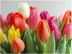 vyberanie a pestovanie tulipanov