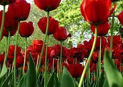 vypestujte si tulipány doma
