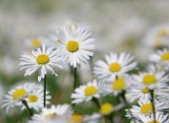 ako si pestovať sedmokrásky doma