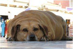 extrémne obézny pes
