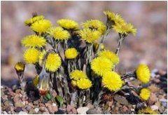 liečiva rastlina podbeľ