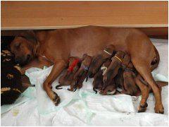ako správne pomôcť sučke s pôrodom
