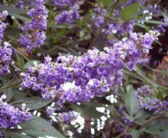 kvety vitex jahňací