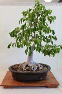 Ficus benjamina ako bonsai