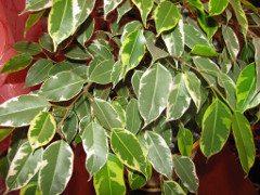 Ficus benjamina (pestovanie)