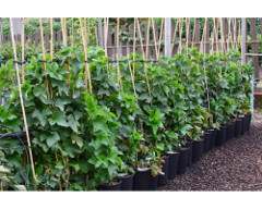 Kontajnerovaný ker v skleníku