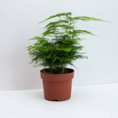 ako pestovať asparágus