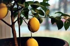 ako pestovať citrusy
