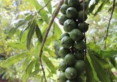 ako pestovať orech