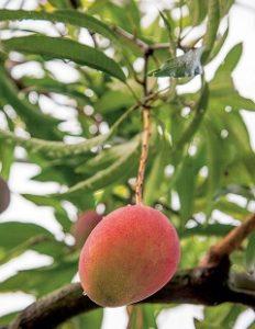 ako vypestovať mango
