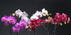 ako vypestovať orchidey