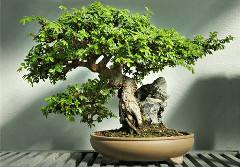návod ako správne pestovať bonsaje