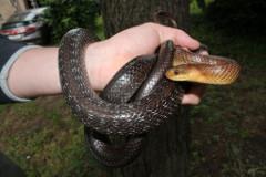 chytanie hadov