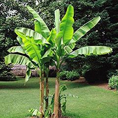 pestovanie bananovníka