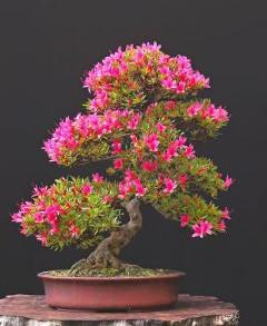 farebná bonsaj