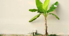 návod ako pestovať banánovník