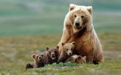 medvedia rodina